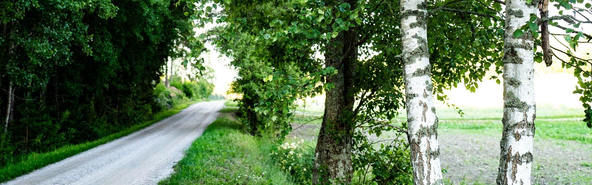 Puud ja tee, kased esipilaanil
