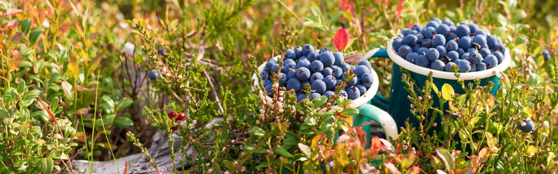 sügisene loodus, mustikad topsis. Foto: pixabay.com