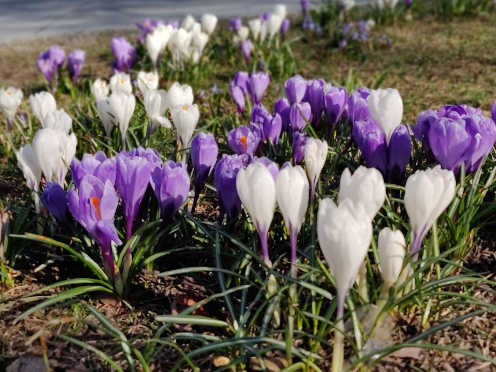 lillad ja valged krookused