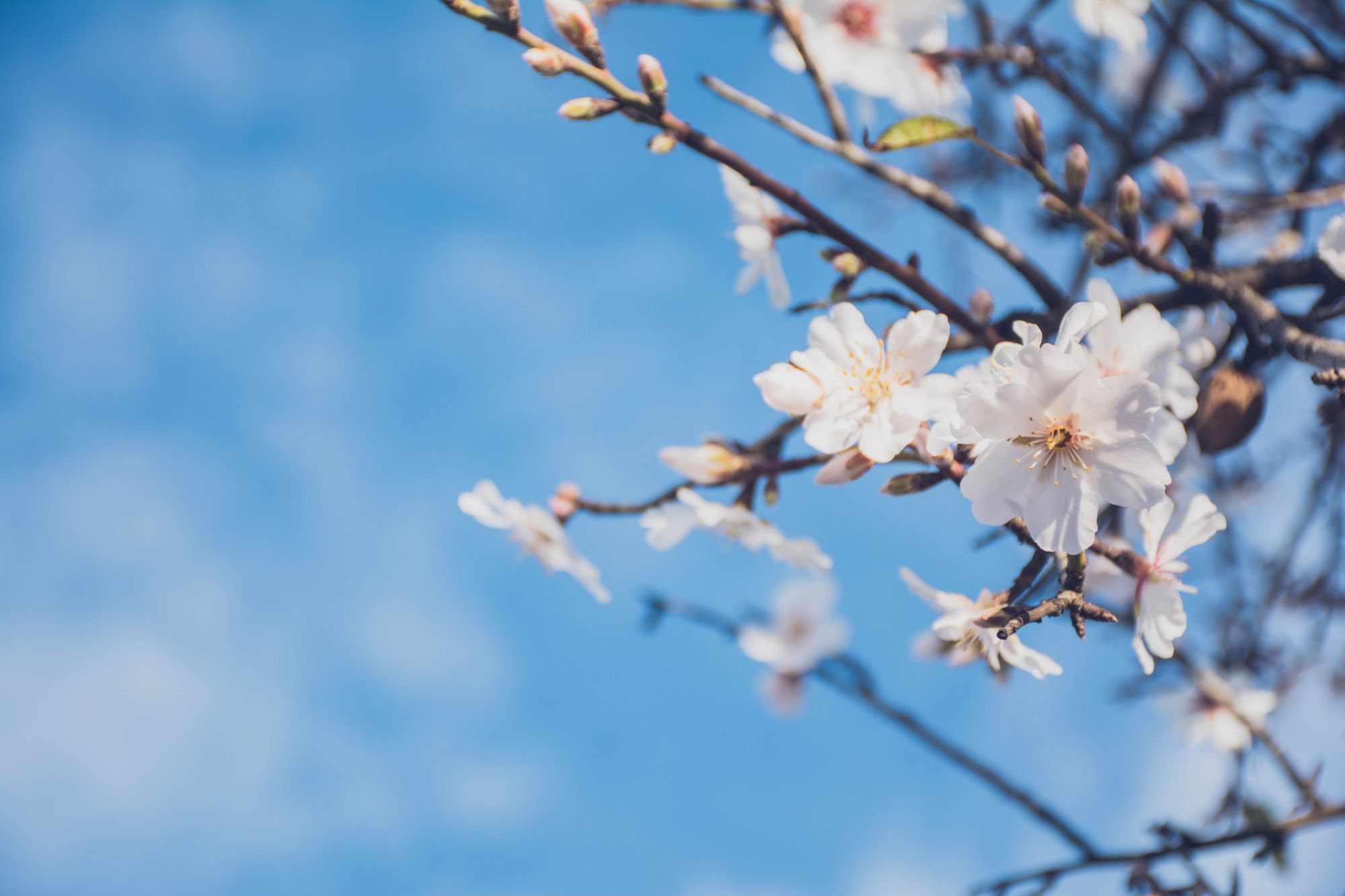 õitsev kirsioks, sinine taevas
