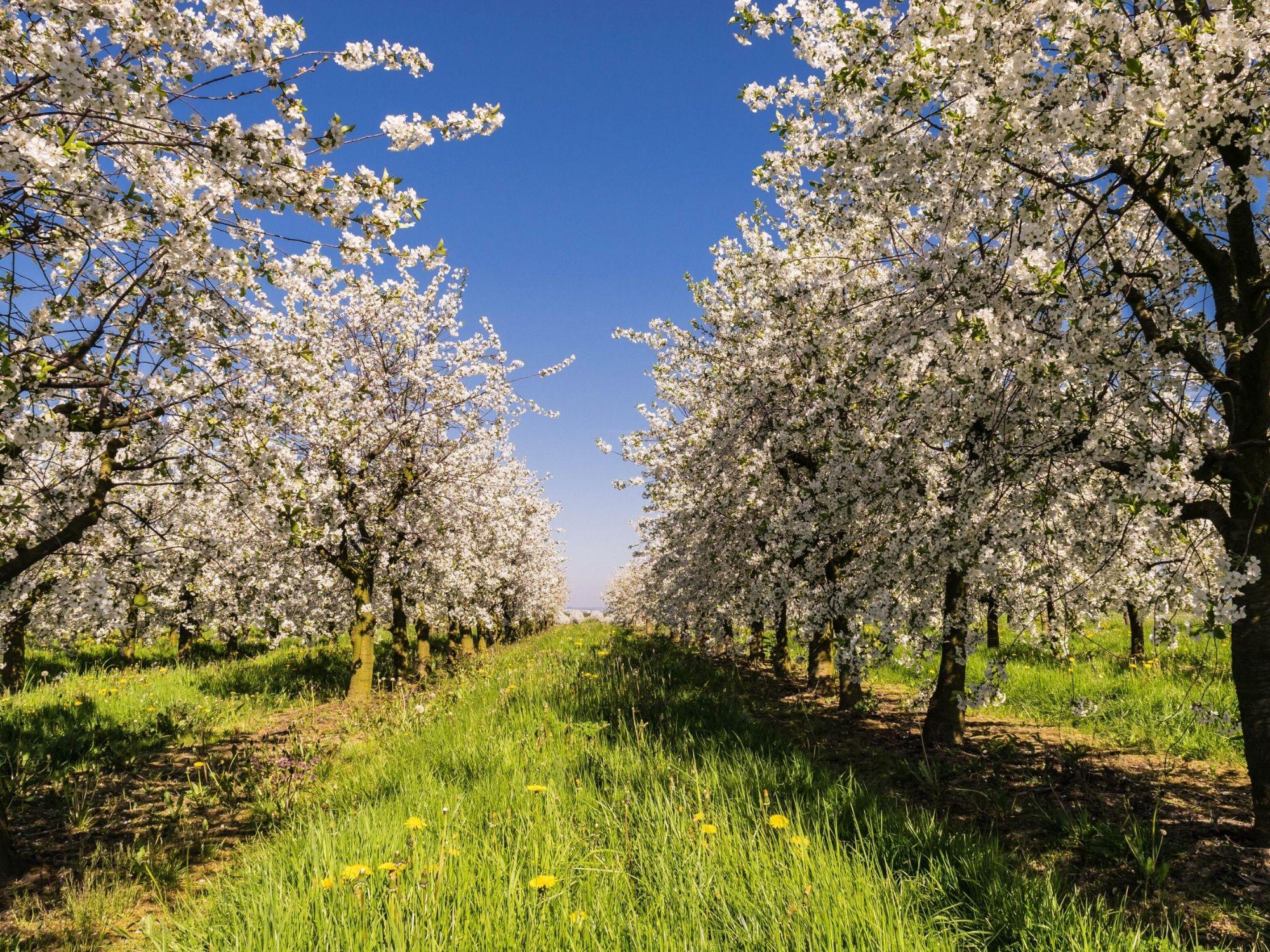 Kahel pool õitsvad õunapuud, keskel roheline rohi ja võililled